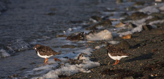 Turnstones Royalty Free Stock Images