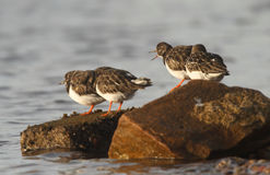 Turnstones (Arenaria interpres) Stock Photos