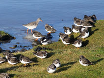 Turnstones and redshank on edge of tide. Royalty Free Stock Images