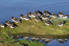 Turnstones sur le bord de la marée. Image stock
