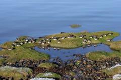 Turnstones sur le bord de la marée. Photos stock