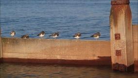 Turnstonevogels op golfbreker stock video
