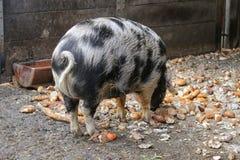 Turopolje svin & x28; Turopolje Schwein& x29; , Europeiskt svin med svarta fläckar arkivbilder