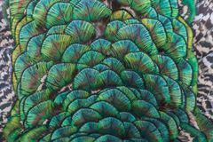 Turqoise ornament peacock close up feathers. Pattern stock photos