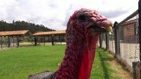 Turquía, acción de gracias, aves de corral, pájaros de juego, animales almacen de video