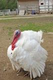 Turquía blanca Foto de archivo libre de regalías