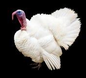 Turquía blanca Pavo blanco en un fondo negro Fotografía de archivo libre de regalías