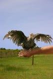 Turquía coa alas abierta Foto de archivo libre de regalías