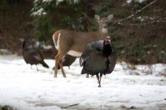 Turquía con los ciervos Imagen de archivo