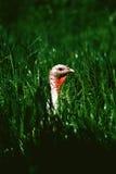Turquía en hierba Fotos de archivo libres de regalías