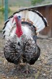 Turquía en la granja Imagen de archivo libre de regalías