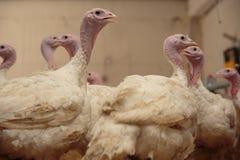 Turquía en una granja, pavos de la cría Fotos de archivo
