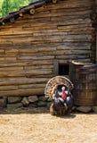 Turquía en una pluma de la granja en el Booker T Washington Monument imagen de archivo