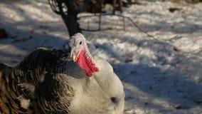 Turquía llora en el invierno el día de la acción de gracias de la nieve Fotos de archivo libres de regalías