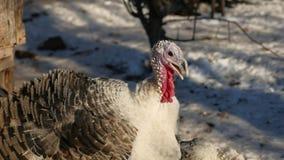 Turquía llora en el invierno el día de la acción de gracias de la nieve Fotografía de archivo
