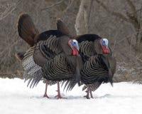 Turquía salvaje (gallopavo del Meleagris) Fotografía de archivo libre de regalías