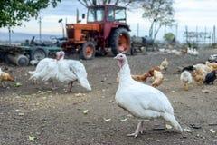 Turquía y pollos en yarda Imagen de archivo