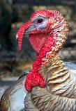 Turquia Foto de Stock Royalty Free