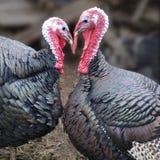 Turquia Imagens de Stock Royalty Free