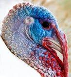 Turquia Imagem de Stock