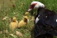 Turquia e peru na grama verde Fotografia de Stock
