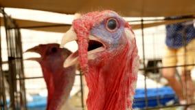 Turquia, gallopavo do Meleagris, no close up da cabeça do pássaro da agricultura da exploração agrícola video estoque