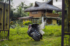 Turquia no jardim Peru gordo na grama verde na frente da casa tradicional em Filipinas Fotografia de Stock Royalty Free