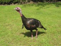 Turquia selvagem Imagem de Stock Royalty Free
