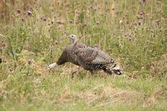 Turquia selvagem Foto de Stock Royalty Free