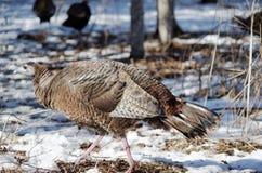 Turquia selvagem em madeiras do inverno Imagens de Stock