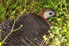 Turquia selvagem (gallopavo do Meleagris) fotos de stock royalty free