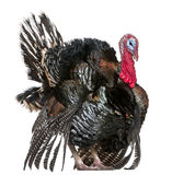 Turquia selvagem, gallopavo do Meleagris Foto de Stock