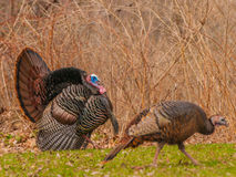 Turquia selvagem (gallopavo do Meleagris) imagens de stock