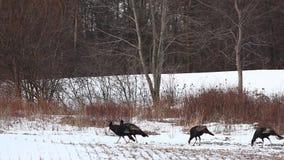 Turquia selvagem, gallopavo do Meleagris, rebanho na neve video estoque