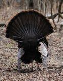 Turquia selvagem nas madeiras fotografia de stock