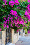 Turquia verão 2015 As flores da buganvília nas ruas da cidade Imagem de Stock Royalty Free