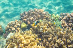 Turquoise blue water and coral reef. Tropical seashore inhabitant underwater photo. Coral reef animal. Warm sea nature. Colorful sea fish and corals. Undersea Stock Image