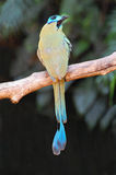 Turquoise-browed motmot. Royalty Free Stock Image