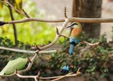 Turquoise-browed Motmot. The national bird of Nicaragua, rest in an almond tree Stock Images