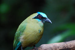 Turquoise-browed motmot portrait Royalty Free Stock Images