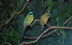 Turquoise-browed Motmots royalty free stock photography