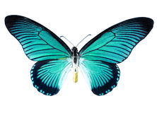 Turquoise butterfly Royalty Free Stock Images
