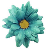 Turquoise chrysanthemum flower isolated on white  background with clipping path.   Closeup.  no shadows.  For design. Stock Images