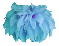 Turquoise Dahlia flower, white  background isolated  with clipping path. Closeup.  with no shadows. for design. Stock Photos