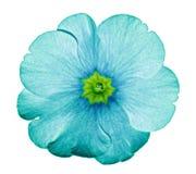 Turquoise de primevère Fleurissez sur le fond blanc d'isolement avec le chemin de coupure sans ombres Plan rapproché Pour la conc images stock