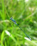 Turquoise dragon-fly Stock Photography