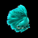Turquoise dragon siamese fighting fish, betta fish isolated on b. Lack background stock image