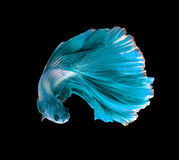 Turquoise dragon siamese fighting fish, betta fish isolated on b. Lack background stock photos