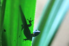 Turquoise dwarf gecko Royalty Free Stock Photography