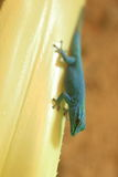Turquoise dwarf gecko Stock Images